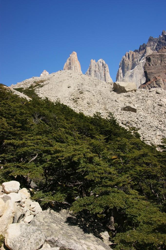 Example of Nothofagus pumilio (Coihue) in Torres del Paine National Park